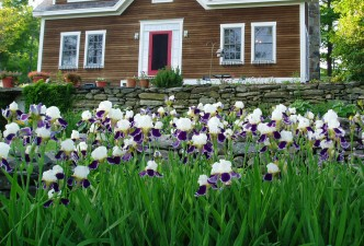 Royal violet bearded irises at Frog Meadow New England's Best All Male Gay Resort in Southern Vermont